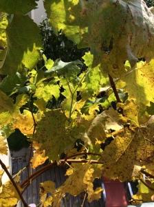 #5von12 - 3. Aufgabe: Schon mal den Wein etwas einstutzen, damit wir wenigstens wieder aus 80% der Fenster in den Herbst hinausschauen können. Auch hier nur das Vorherbild.